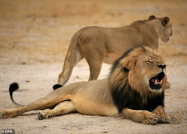 The dentist is reported to have paid £32,000 to his Zimbabwean guides to be able to shoot  Cecil the lion (pictured)