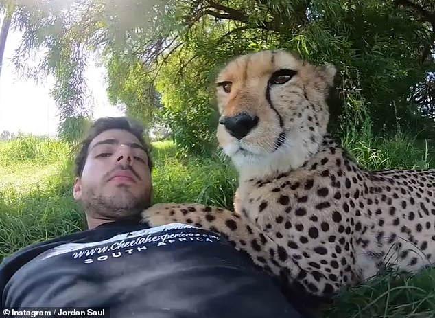 Daring: Clearly at home in the animal kingdom, social media snaps show Jordan relaxing with a cheetah