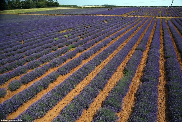 Growers at Norfolk Lavender (pictured) near Hunstanton were out in their 100 acres of lavender fields as England looks set to see highs of 84F today