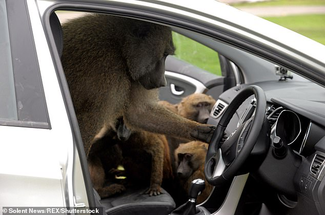 Animal keepers at a safari park in Merseyside believe that some visitors are 'arming' baboons with tools such as knives, screwdrivers and a chainsaw. Pictured: Monkeys used to test the durability of a Hyundai at Knowsley Safari Park in 2012