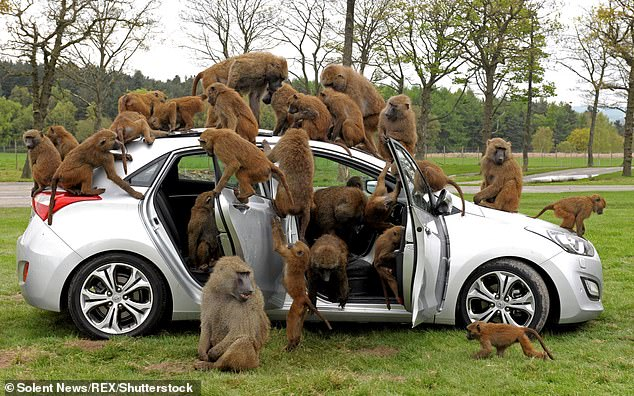 Knowsley Safari Park claimed that their park, where guests do not leave their vehicles, was just as safe as a McDonalds drive thru.Pictured: Monkeys used to test the durability of a Hyundai at Knowsley Safari Park in 2012