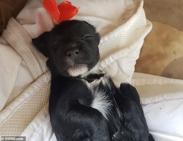 The entire litter of black puppies, which were valued at up to £2,000 each, were taken from a caravan in Cottenham, Cambridgeshire, in July