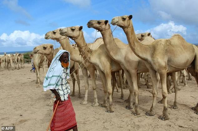 A man sells camels at El Hirka Dhere livestock market in Mogadishu, a day before the Muslim festival Eid Al-Adha, the feast of the sacrifice.