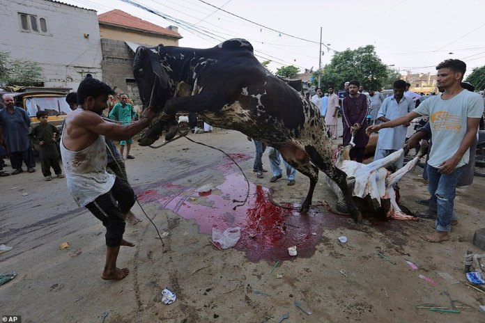 People struggle to control a bull to be slaughtered for Eid al-Adha in Karachi, Pakistan
