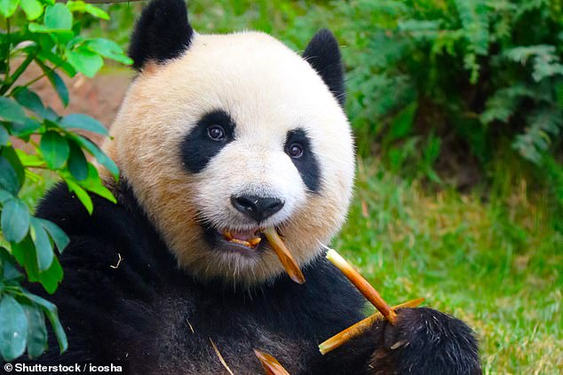 Conservation efforts in China put in place to protect the giant panda, pictured, may have triggered a decline in the numbers of leopards, snow leopards and wolves (stock image)
