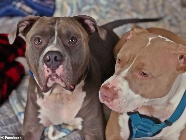 The two pit bulls (seen above) have been euthanized by Barrow County Animal Control