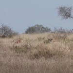 Antelope survives being pursued by two jackals AND an eagle