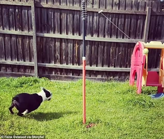 Video footage, taken on July 3, shows Gomez enthusiastically chasing the swinging tennis ball round and round in circles, seemingly not getting bored by the dizzying task