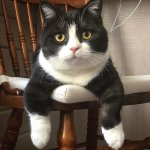 Manchester, the cat with extremely short legs, is Instagram star