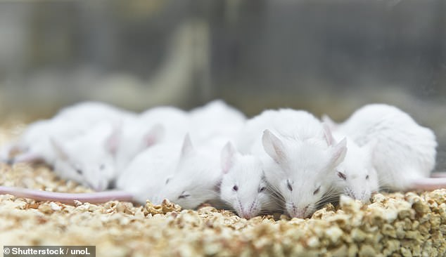 In their study, Professor Ren and colleagues demonstrated that blood replacement therapy can minimise this damage by performing tests on 333 male mice, which were give blood injections seven hours after receiving an induced stroke (stock image)