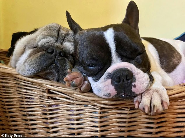 Owners of flat-faced dogs such as pugs and bulldogs rate their 'loving' personalities and affectionate, happy natures. Pictured: Rescue French bulldog and pug snoozing in basket