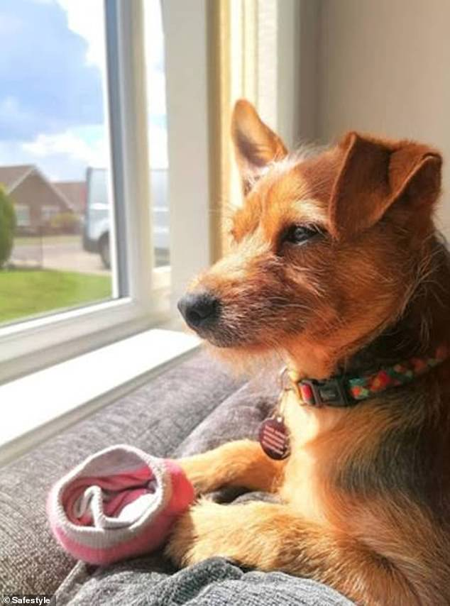 Reggie from Grimsby sits with a sock in the window. His owner said: 'Meet 12-month-old Reggie, also known as Dobby for his cute ears and love of socks. He loves people-watching whilst holding onto his favourite pair of socks and catching some sun!'