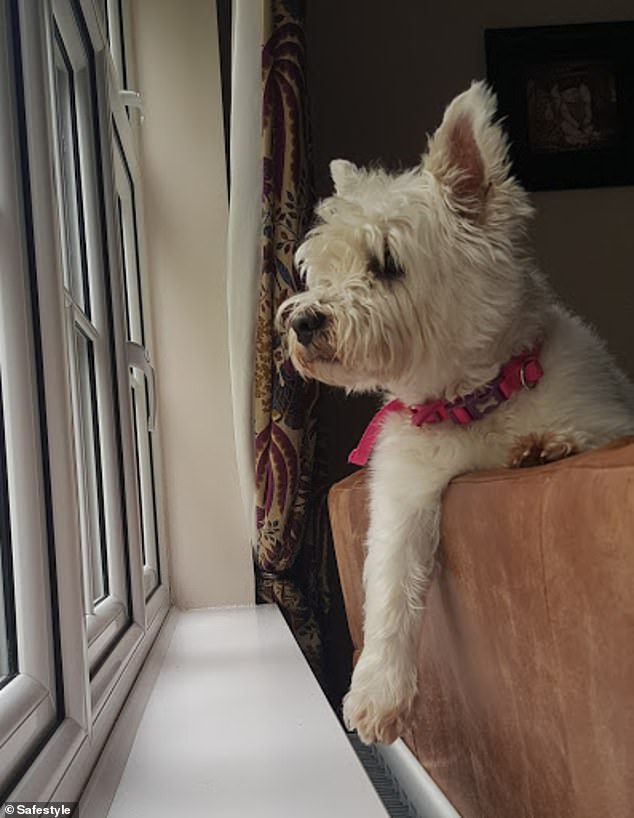 Blossie from Manchester dangles a paw over the radiator and keeps and eye out of the window. Her owner Wayne, said: 'Here is our Westie, Blossie, sat on our window on the lookout for cats!'