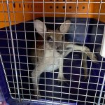 Wallaby is hit by a car, becomes trapped in the grille and travels 304km stuck inside - but survives