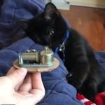 Adorable moment a black kitten falls asleep to the sound of a music box playing a lullaby