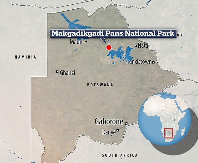 The study, in collaboration with Elephants for Africa, examined the movements of male African savannah elephants (also known as bush elephants) in Makgadikgadi Pans National Park, Botswana