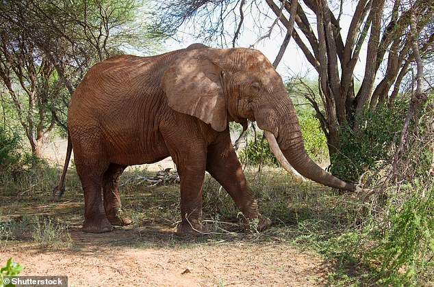 A savanna elephant (Loxodonta Africana) at Tsavo East National Park, Kenya.Trophy hunters justify targeting older bull elephants on the grounds they are 'redundant' in terms of breeding and hence species survival, but the new research strongly refutes this suggestion