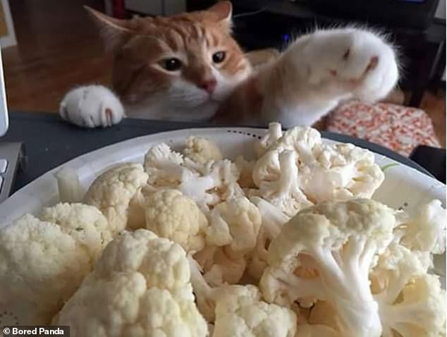 Cheeky feline: A cat, thought to be based in Britain, steals a person's vegetables and doesn't seem to mind being caught