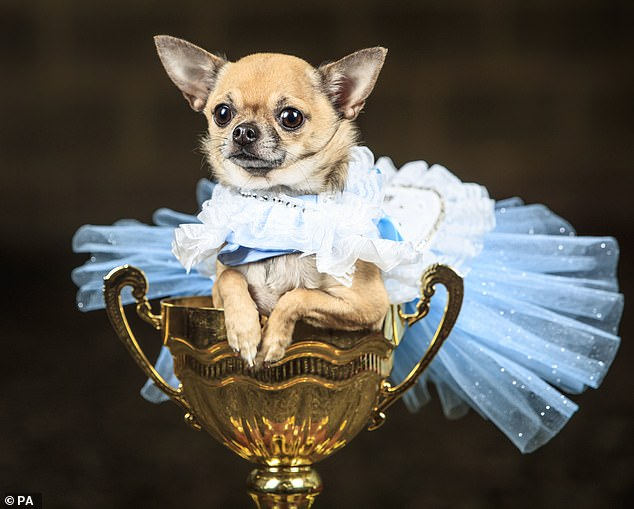 Owners were invited to dress their dogs up in costumes for the pageant with themes including Alice in Wonderland and Charlie and the Chocolate Factory (pictured,Tallulah the Pomeranian dog dressed as Alice in Wonderland)