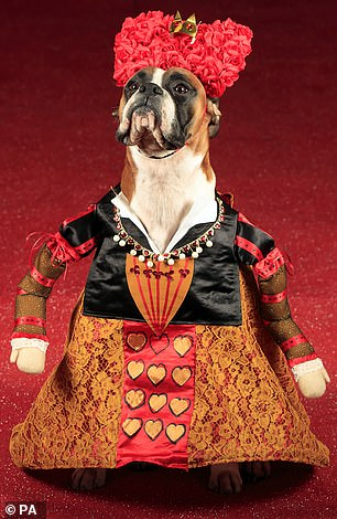 Dogs were invited to walk the red carpet runway at the event (pictured, Ruby the Boxer dog dressed as the Queen of Hearts)