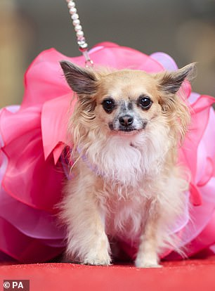 One of the smaller pooches wore an enormous fuschia pink dress on the runway as part of the pageant