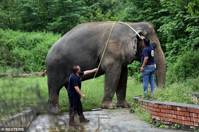 Amir Khalil, head of project development at FOUR PAWS International, (right) and Frank Goeritz, head of the veterinary service at Leibniz Institute for zoo and wildlife research in Berlin, take measurements of Kaavan, an elephant at the Marghazar Zoo in Islamabad, Pakistan yesterday