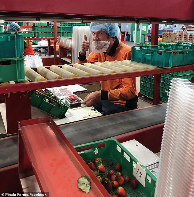 Pictured: worker Sam Storey packing strawberries at Pinata Farms, Waruman, Queensland, on September 4. Farmers are keen for city folk to come out and help them pick their crop