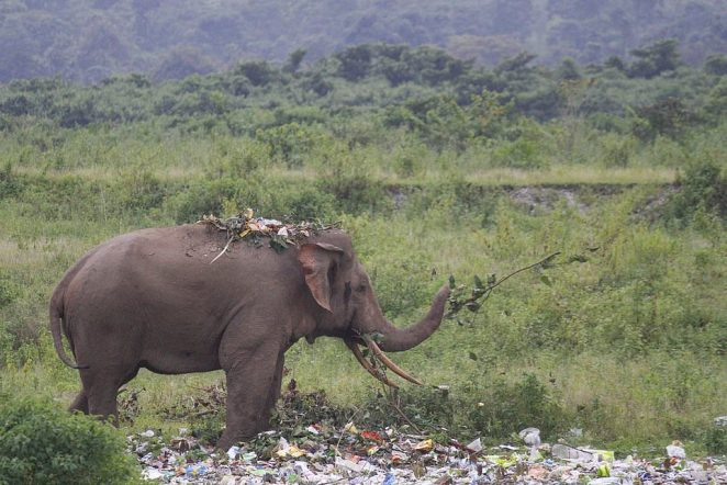 The elephant also had a mound of rubbish lying on its back as it was attracted by the smell of the litter