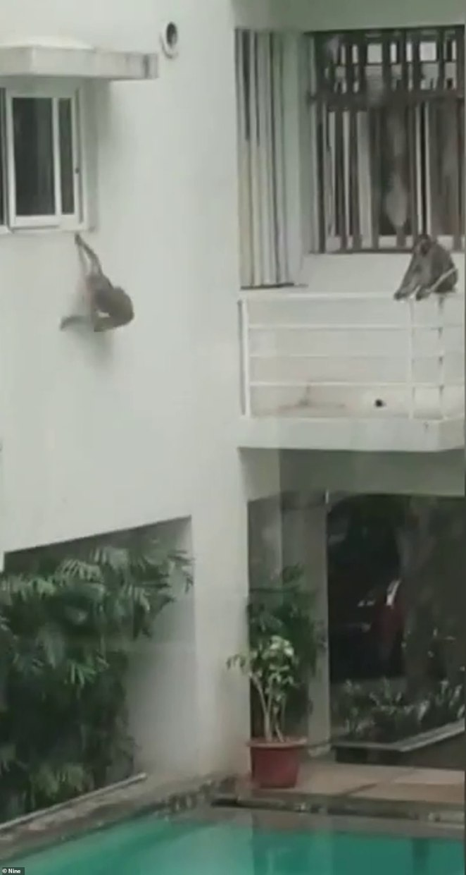 Monkeys have taken over abandoned hotels in Bali, enjoying the empty space and swimming pool (pictured in June)