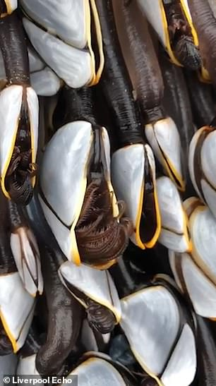 The Gooseneck Barnacles, seen in a white shell, are a delicacy in Portugal and Spain
