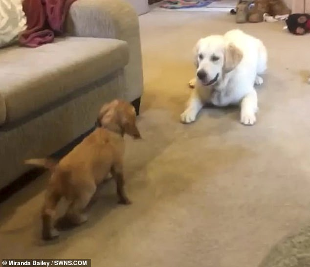 Golden retriever Luna explodes with joy after her owner Miranda Bailey, 24, from Melbourne, Australia, introduces her to her new puppy playmate