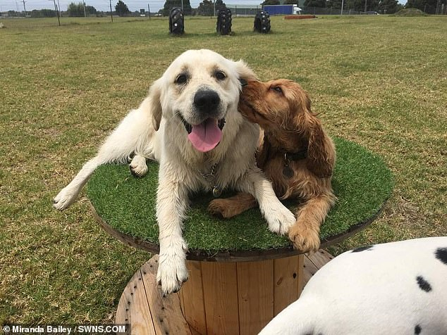 The golden retriever and cocker spaniel are now inseparable and live together with Ms Bailey