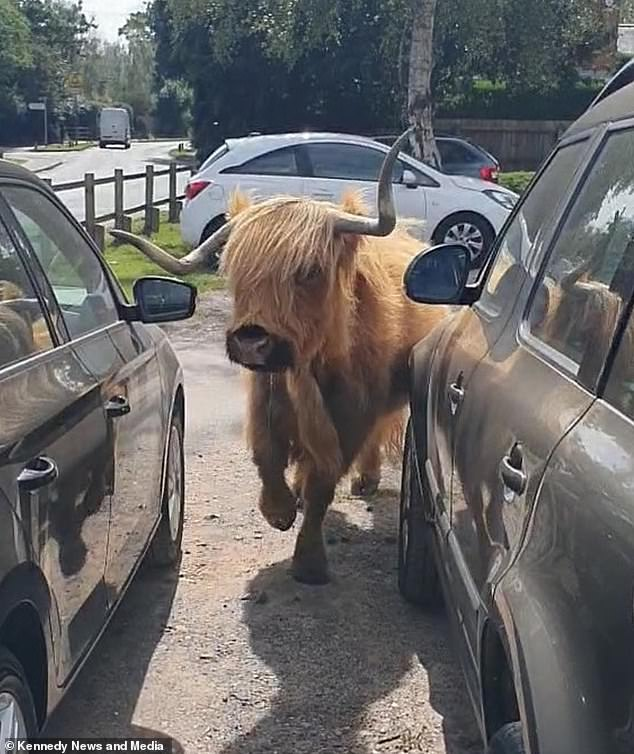 The Highland cow successfully manoeuvred its way out from between the parked cars without causing any damage