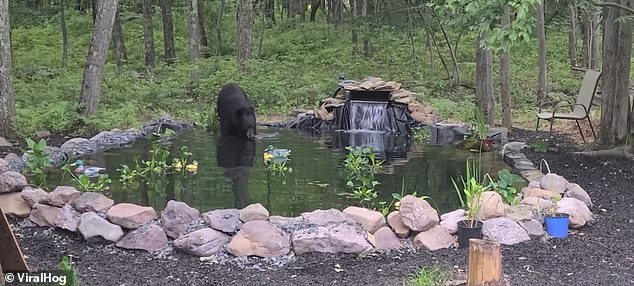 A black bear enters a newly-built koi pond in Jim Thorpe, Pennsylvania, for a quick dip in the water