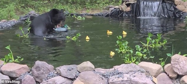 The black bear quickly leaps backwards through the water and tries to grab the duck in its powerful jaws to eliminate the 'threat'