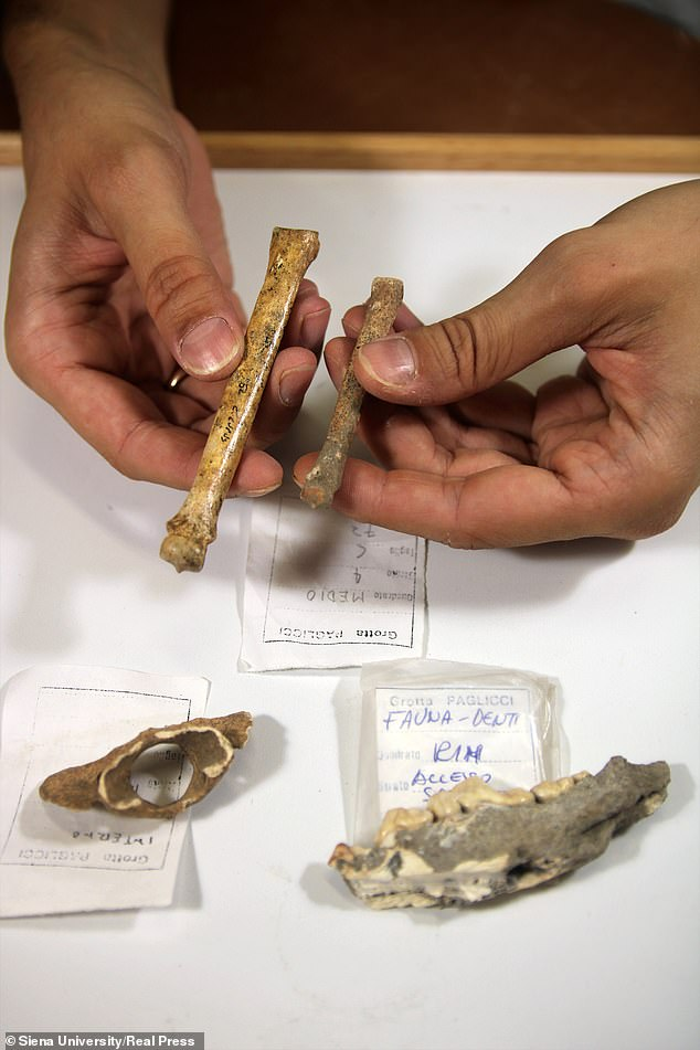 Difference between dog of Grotta Paglicci (the smaller one) and the same bone from a current wolf. On the table are other two remains of Grotta Paglicci (a vertebrae and a jaw)