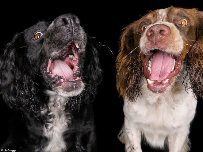 These two spaniels can be seen having a lovely time during the photoshoot by Liz for All Dogs Matter. The photographer explained that she often used treats as a great way to keep the dogs focused