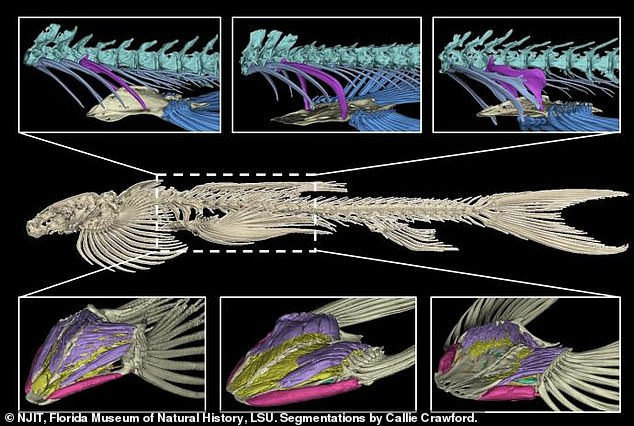 The team analyzed pelvic structures of about 30 hillstream loach species and found 10 match that of the rare, blind Cryptotora thamicola identified in 2016. Using CT scan, the results described three categories of pelvic formation for the first time and allowed researches to determine the structure that provides walking capabilities