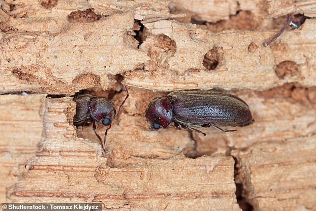 The bamboo borer (pictured), native to Asia, is one of three beetles that are responsible for 90 per cent of insect damage on bamboo products worldwide, according to experts