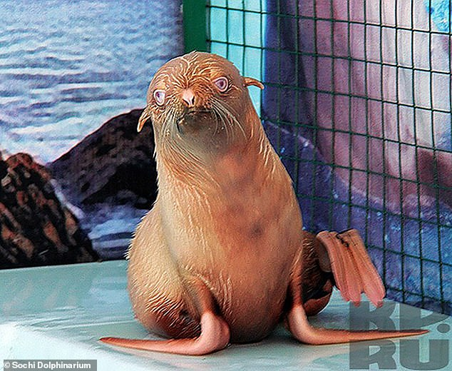 In a case in 2011, an ostocised ginger fur seal called Nafanya (pictured) similarly became the centre of attention for its unusual colouring