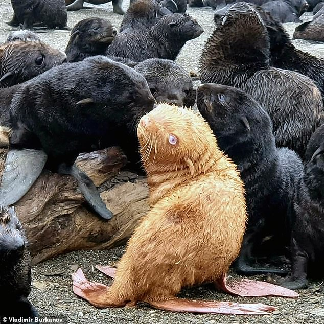 An exceptionally rare ginger fur seal pup has been spotted in the Sea of Okhotsk in Russia (pictured)