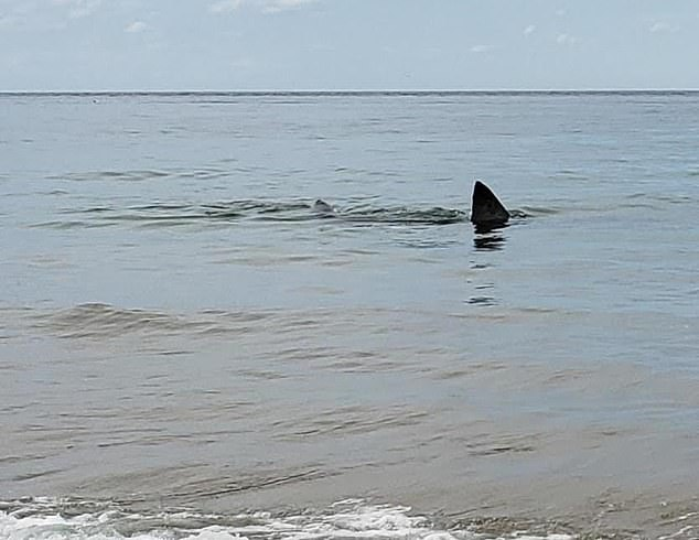 The shark's dorsal fin pokes out of the water as it hunts near the beach in one of four sightings in the last four days in the area