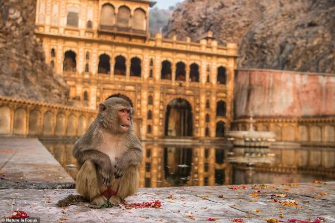 Second runner-up Abhikram Shekhawat's 'Harmony In Faith' is a portrait of a female Rhesus Macaque in front of the Galtaji temple in Jaipur. The monkeys are a nuisance to locals but are revered as avatars of the simian god Hanuman