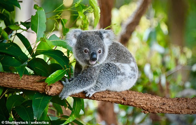 Nature Conservation Council chief executive Chris Gambian said 'the koala policy is one small measure is become extinct in NSW by 2050'