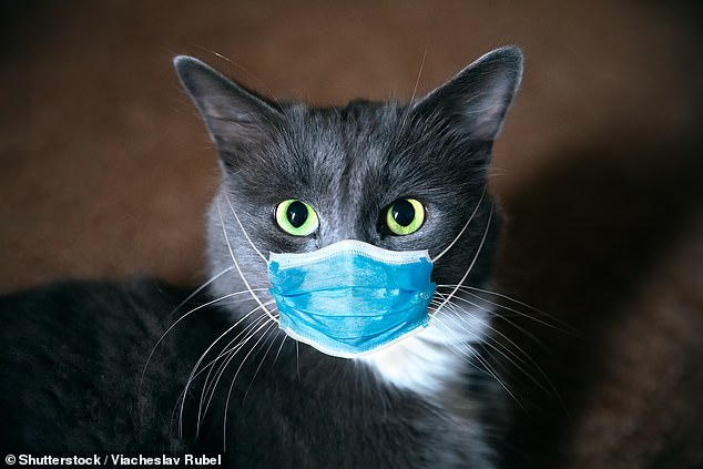 Between ten and 15 per cent of cats tested in a Wuhan study — ground-zero for the Covid-19 pandemic — caught the coronavirus. The findings comes as researchers try and find what risk the SARS-CoV-2 coronaviru poses to pets (stock)