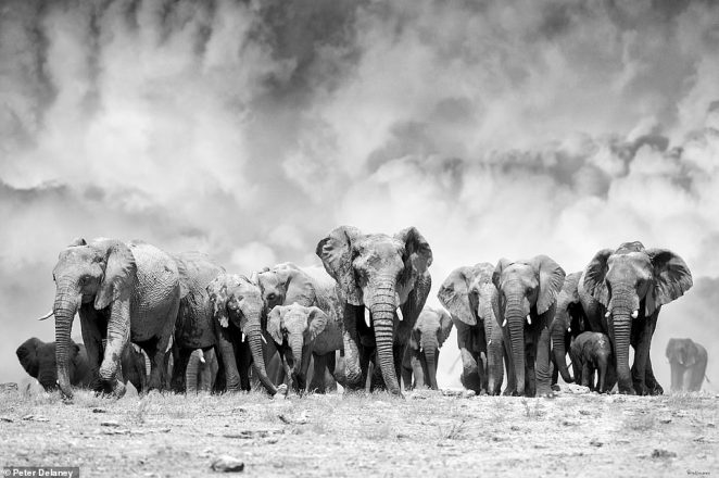 Peter told MailOnline Travel: 'There is something magical and beautiful when you observe elephants.' He snapped this amazing shot in Etosha National Park and called it Elephant Ridge