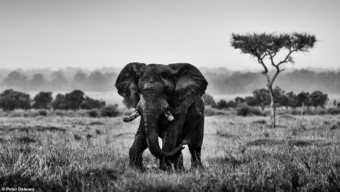 Most of Peter's shots are in black and white, which he believes elevates the image to a form of art. He photographed this elephant in Etosha National Park