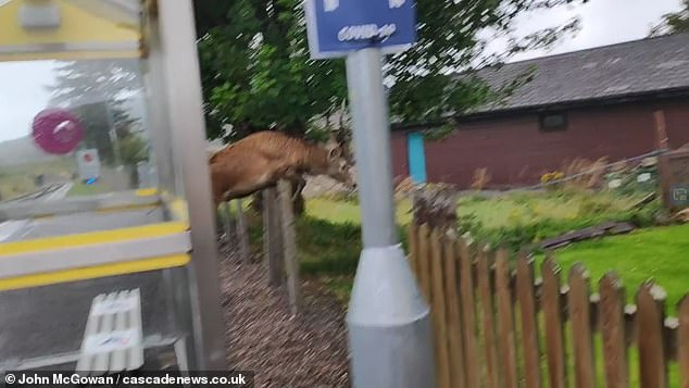 After seemingly growing tired of waiting, the stag decides to hope over a wire fence and make its journey on foot