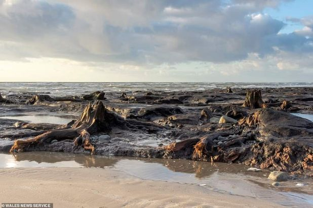 Ancient trees have been detected by storms on a beach - and are thought to be part of a 4,500-year-old sun forest.  New underwater woodland was discovered miles from a bizarre forest that dates back thousands of years