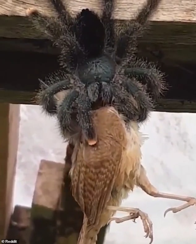 The pink toe tarantula normally live in trees and can grow to have a leg span of five inches